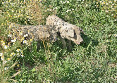 Turopoljeschwein